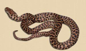 representative image of hatchling Children's python