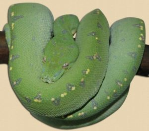sub adult green tree python