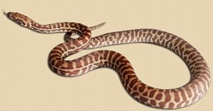 Broome WA locale 4 month old Stimson's python