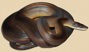 adult water python