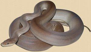adult olive python