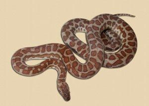 Wheatbelt locale Stimson's python adult