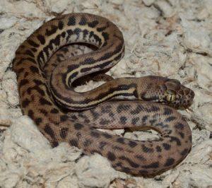 Velvet Stimson's python hatchling