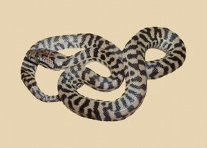 pygmy Stimson's python
