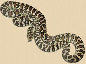 adult Darwin carpet python