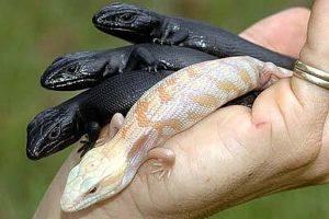 a handful of newborn beauty - an albino with three hypermelanistic bluetongues