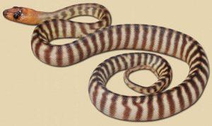 representative image of 'Tanami' type hatchling