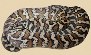sub-adult Darwin carpet python