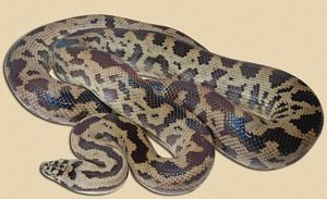 "adult spotted python ""blonde"" phase"