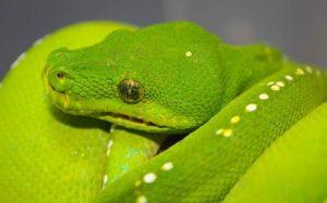 Green Tree Python adult