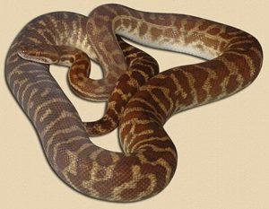 adult Sandfire locale Stimson's python
