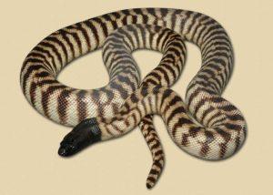 adult NT black-headed python