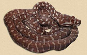 representative image of Bredl's python hatchling