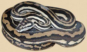 adult 'tiger' jungle python