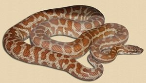 adult Wheatbelt locale Stimson's python