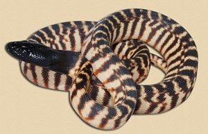 hatchling NT black-headed python