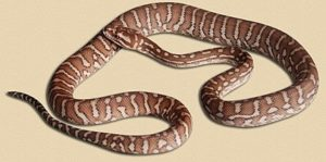 athree month old 'classic' Bredl's python