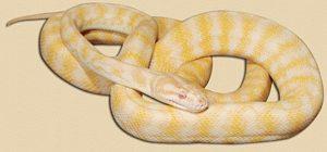 representative image of albino adult