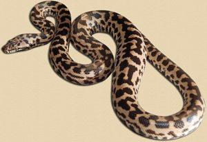 """blonde"" phase spotted python hatchling"