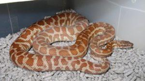 """Wheatbelt"" WA locale Stimson's python."