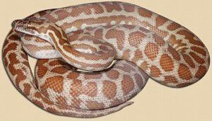 Wheatbelt locale Stimson's python - yearling