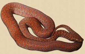 six month old pygmy python