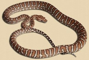 aneight month old 'classic' Bredl's python