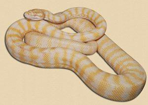 six month old albino Darwin carpet python