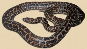 "adult spotted python ""Burmese"" phase"