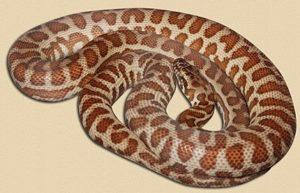 Wheatbelt locale Stimson's python - 6 months old