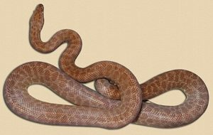 sub-adult Children's python
