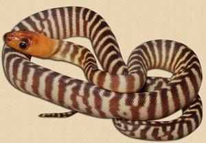 representative image of WA woma hatchling