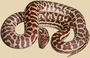 Wheatbelt locale Stimson's python - 2 months old