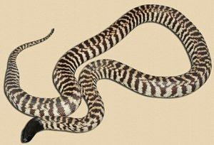 adult Sandfire WA locale black-headed python