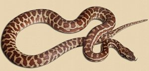 Wheatbelt locale Stimson's python hatchling