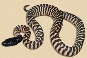 hatchling Sandfire WA locale black-headed python