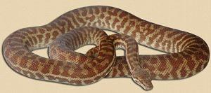 adult Broome locale Stimson's python