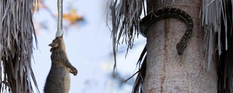 Brisbane Snake Eating Possum